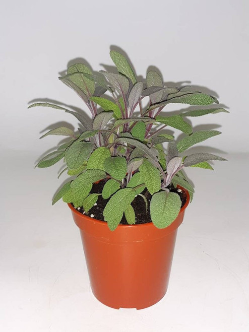 Live Purple Sage Plant - Ready to use now.  Blessings, Herbs, Spices. Live house plants
