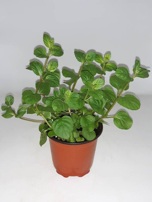 Live Orange Mint Plant - Ready to use now.  Blessings, Herbs, Spices. Live house plants