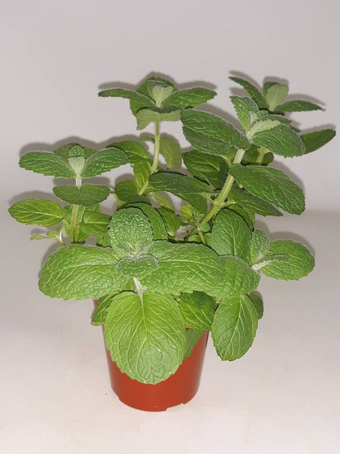 Live Apple Mint Plant - Ready to use now.  Blessings, Herbs, Spices. Live house plants
