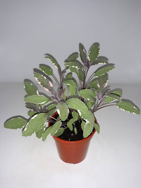 Live Tricolor Sage Plant - Ready to use now.  Blessings, Herbs, Spices. Live house plants