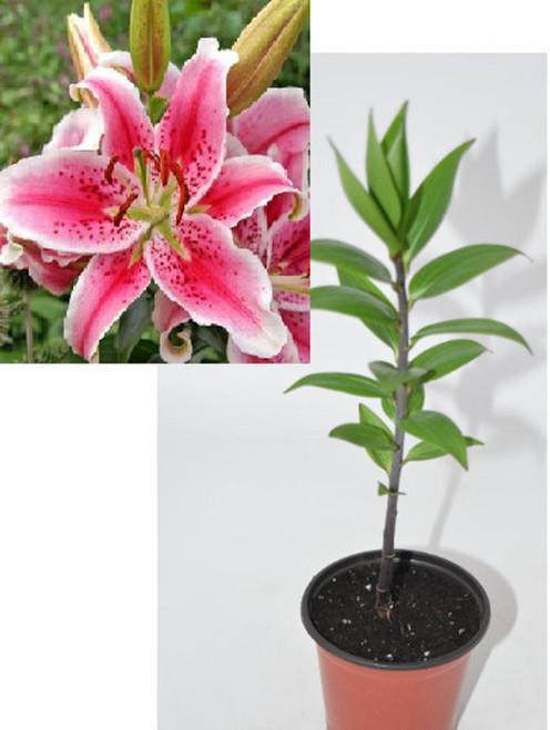 Stargazer Lily Flower - Beautiful Live plants, Beautiful long lasting fragrance