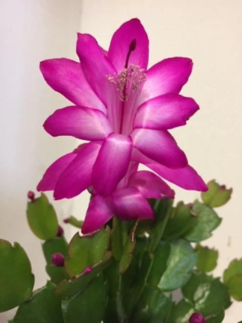 Live Pink Thanksgiving Christmas Cactus Plant-  Plants