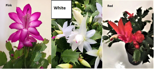 LIVE MIXED In ONE Pot -Pink, Red, White -Tricolor Thanksgiving Christmas Cactus - Medium-  Plants, Blessings, Indoor plant, Flowering Plant