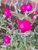 Live Rose Campion plant ( Large ) - Beautiful hot pink flower