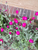 Live Rose Campion plant ( Medium ) - Beautiful hot pink flower
