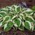 Live Plant Large Hosta Plant- Beautiful Large Leaf Outdoor Plant, Decorative Plant, Hedge plant will bloom purple flowers