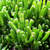 Live Shrek Ears Succulent Plant, Ogre Ears Live house plant- 1 pc.