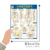 Quick Study QuickStudy Anatomy Laminated Study Guide BarCharts Publishing Anatomy Reference Guide Size