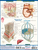 Quick Study QuickStudy Lymphatic System Laminated Study Guide BarCharts Publishing Reference Guide Back Image