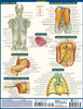 Quick Study QuickStudy Anatomy of the Organs Laminated Study Guide BarCharts Publishing Medical Education Back Image