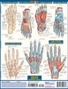 Quick Study QuickStudy Circulatory System Advanced Laminated Study Guide BarCharts Publishing Guide Back Image
