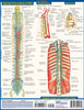 Quick Study QuickStudy The Spine Laminated Study Guide BarCharts Publishing Medical Reference Back Image