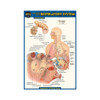 QuickStudy | Anatomy of The Respiratory System Laminated Pocket Guide
