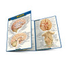 QuickStudy | Anatomy of The Brain Laminated Pocket Guide
