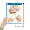 Quick Study QuickStudy Brain Laminated Study Guide BarCharts Publishing Medical Reference Guide Size