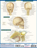 Quick Study QuickStudy Brain Laminated Study Guide BarCharts Publishing Medical Reference Back Image