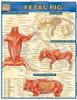 QuickStudy | Fetal Pig Laminated Study Guide