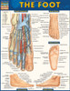Quick Study QuickStudy The Foot Laminated Study Guide BarCharts Publishing Medical Academic Guide Cover Image