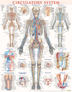 QuickStudy | Circulatory System Laminated Poster