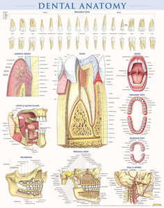 QuickStudy | Dental Anatomy Laminated Poster