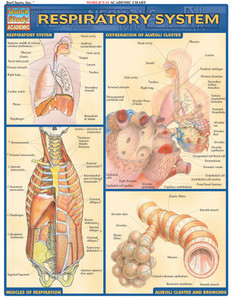QuickStudy   Respiratory System Laminated Study Guide