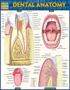 QuickStudy Quick Study Dental Anatomy Laminated Study Guide BarCharts Publishing Medical Study Guide Cover Image