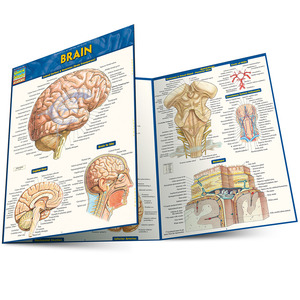 Quick Study QuickStudy Brain Laminated Study Guide BarCharts Publishing Medical Reference Main Image
