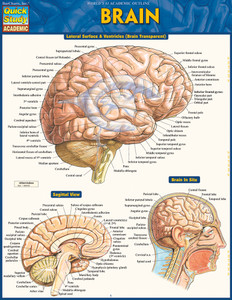 Quick Study QuickStudy Brain Laminated Study Guide BarCharts Publishing Medical Reference Cover Image