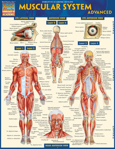 Quick Study QuickStudy Muscular System Advanced Laminated Study Guide BarCharts Publishing Academic Medical Guide Cover Image