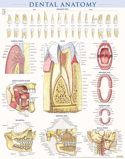 QuickStudy | Dental Anatomy Laminated Poster