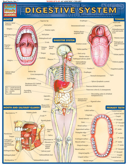 QuickStudy | Digestive System Laminated Study Guide