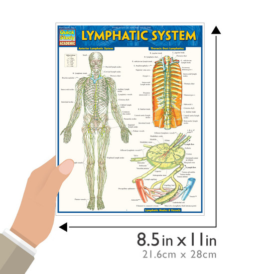 Quick Study QuickStudy Lymphatic System Laminated Study Guide BarCharts Publishing Reference Guide Size
