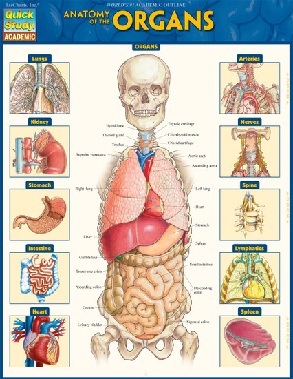 QuickStudy | Anatomy of the Organs Laminated Study Guide