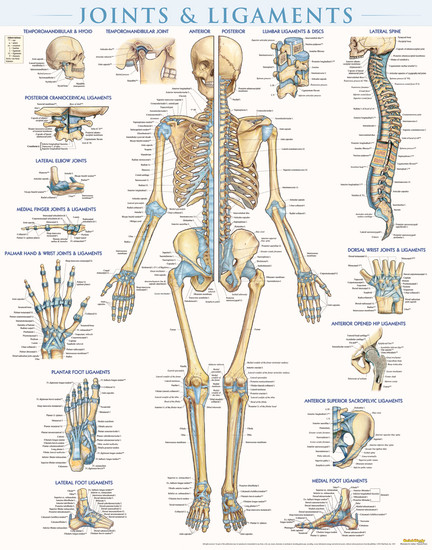 QuickStudy Joints & Ligaments Laminated Poster