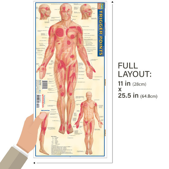 Quick Study QuickStudy Trigger Points Laminated Study Guide BarCharts Publishing Trigger Points Guide Size