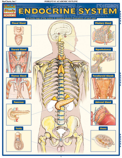 Quick Study QuickStudy Endocrine System Laminated Study Guide BarCharts Publishing Medical Guide Cover Image