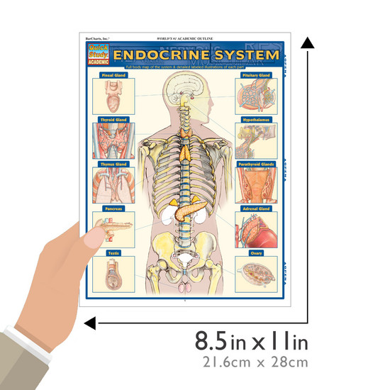 Quick Study QuickStudy Endocrine System Laminated Study Guide BarCharts Publishing Medical Guide Size