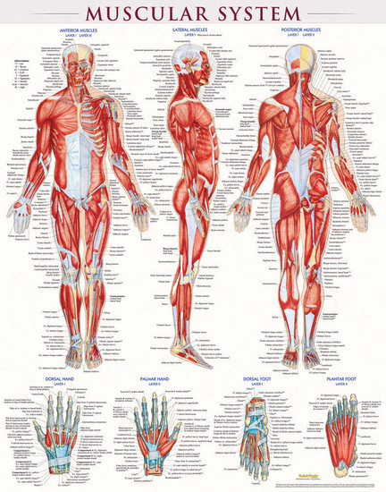 QuickStudy Muscular System Laminated Poster