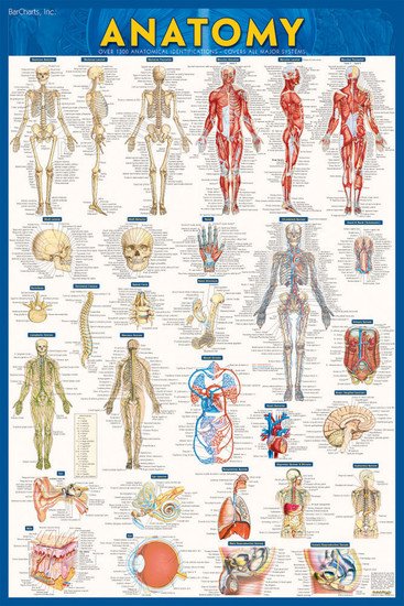 QuickStudy Anatomy Laminated Poster