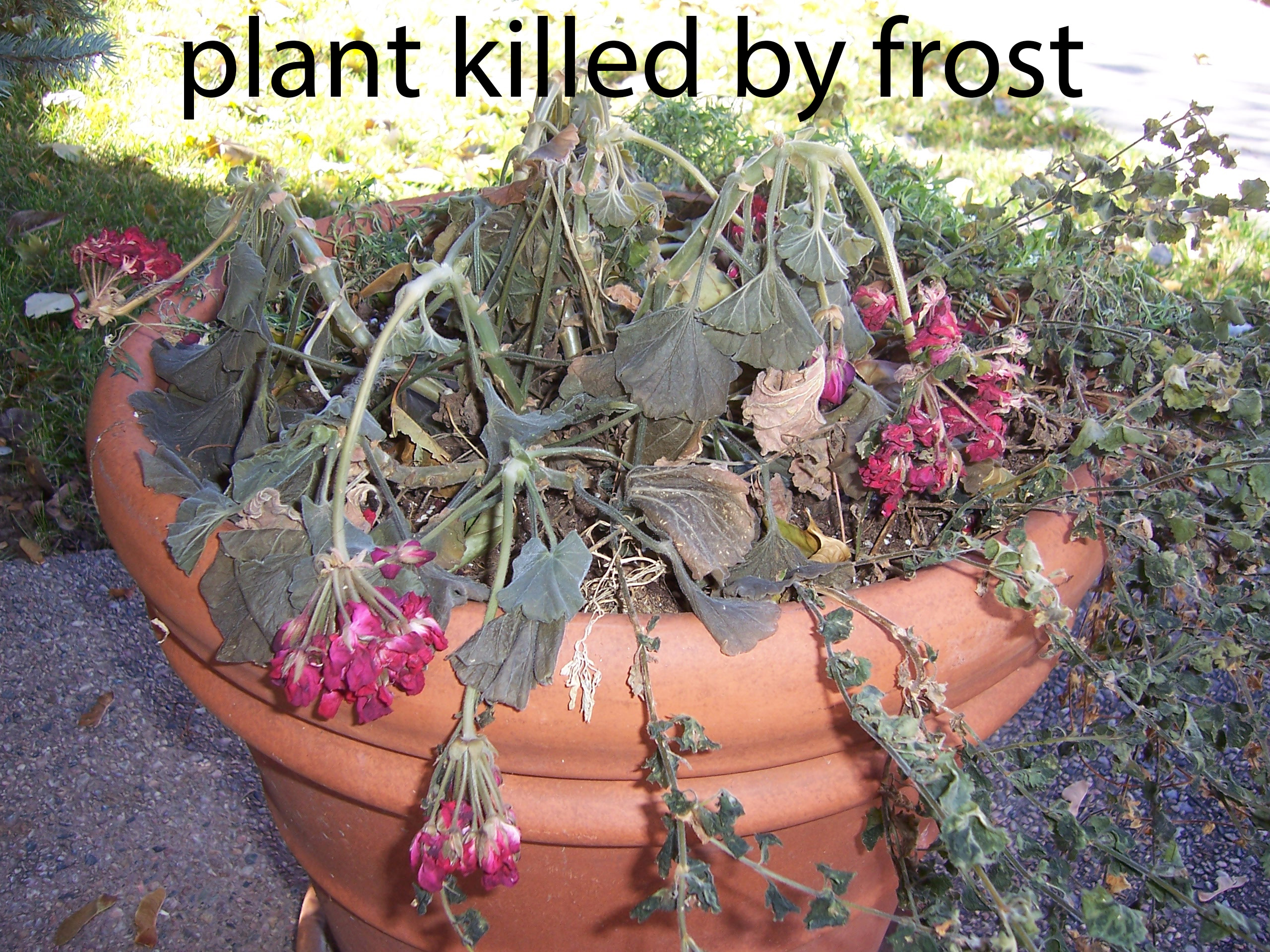 plant killed by frost