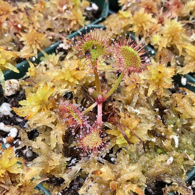 Drosera rotundifolia for Sale