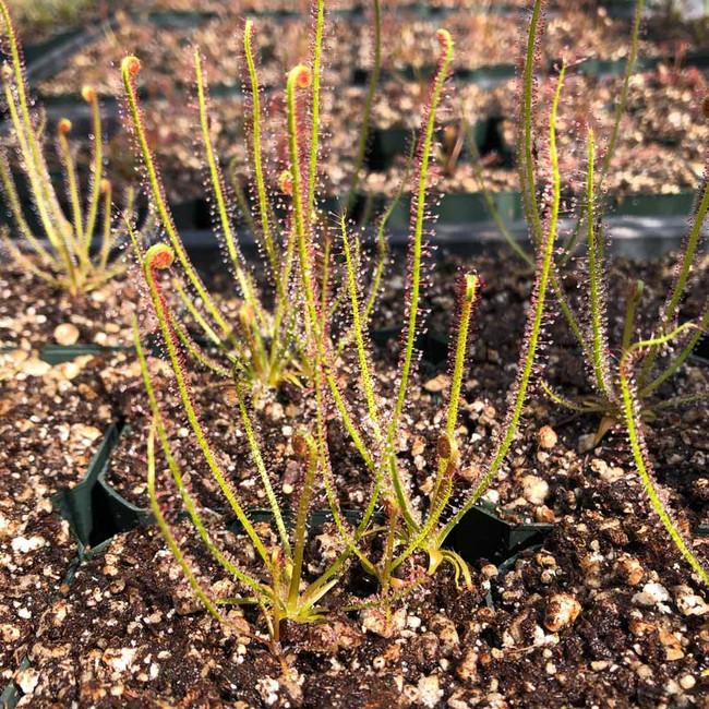Drosera filiformis Nova Scotia for Sale