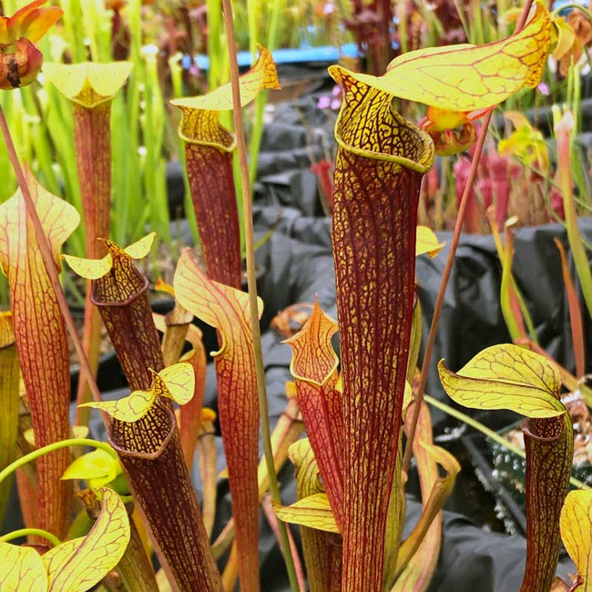 Sarracenia Golden-Red Jubilee for sale.