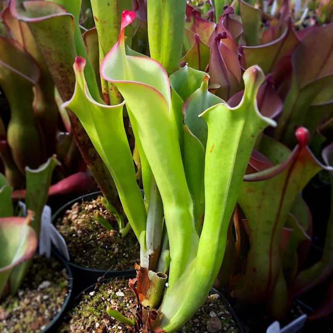 Heliamphora tatei, mother plant.