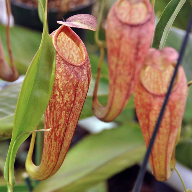 Nepenthes thorelii x aristolochioides, mother plants.