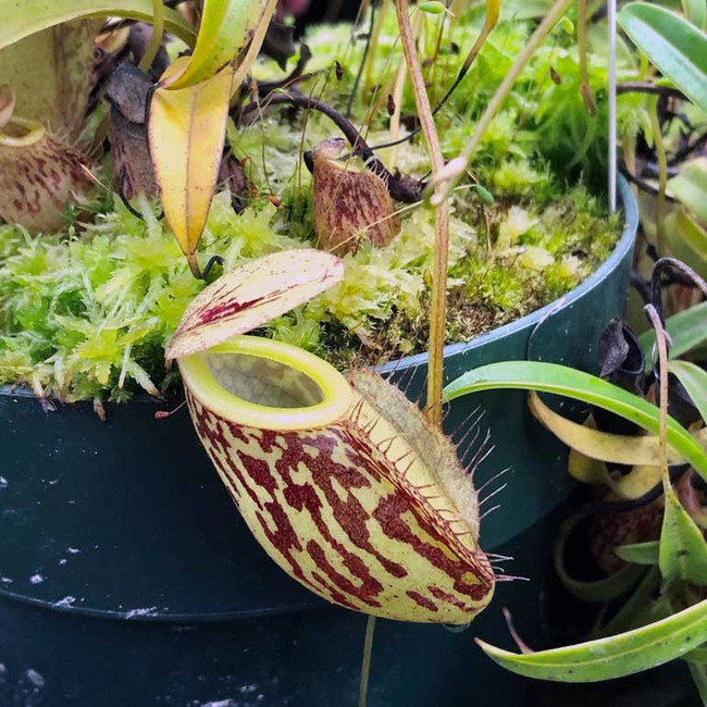Nepenthes glabrata, known for its demure and elegant pitchers