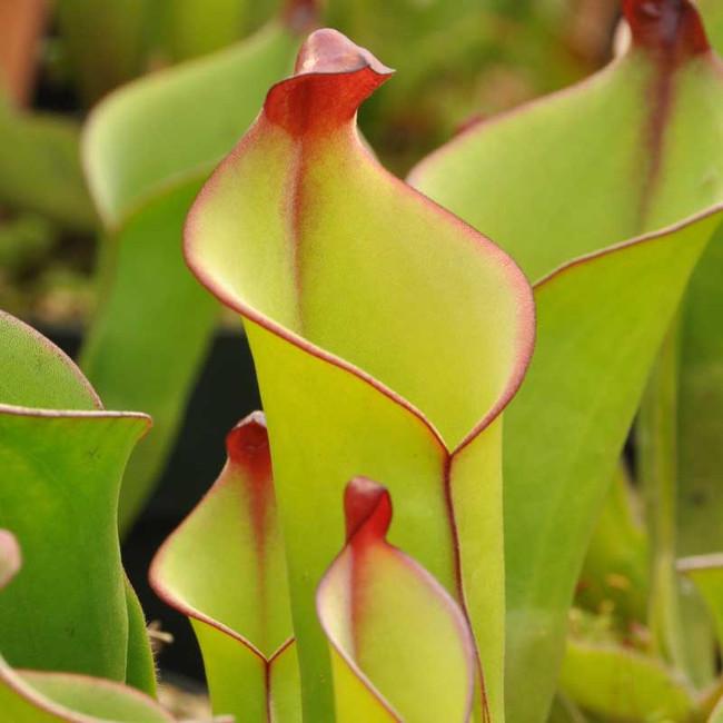Heliamphora heterodoxa, mother plant.