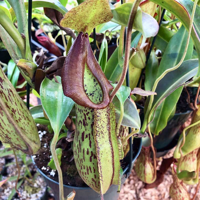 Nepenthes Fancy Fish, mother plant