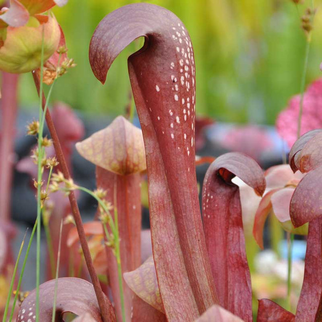 Sarracenia Red Minor for sale.