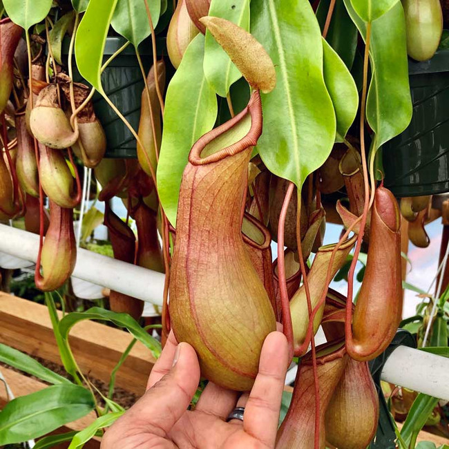 Nepenthes Deroose Alata for sale.